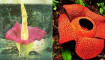 Rafflesia Gadutensis mekar di Hutan Lindung Boven
